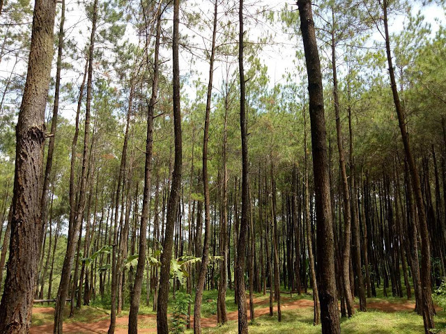 hutan pinus puncak becici