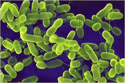 difference between bacteria and cyanobacteria biology exams 4 u