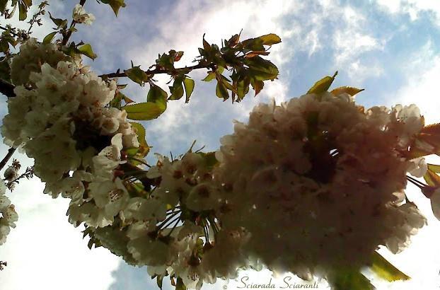 Ramo di ciliegio in fiore con lo sfondo del cielo