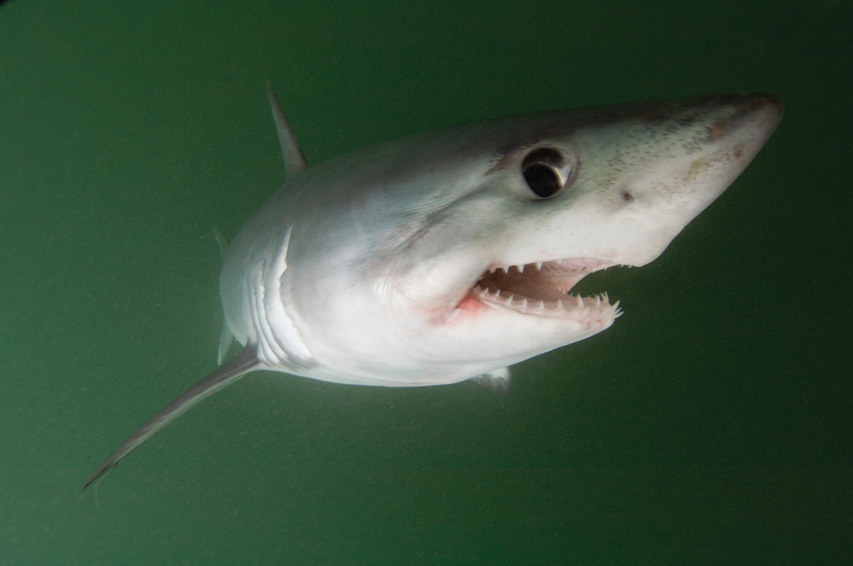 Tiburones en Galicia: Los juegos de los jóvenes cailones (Lamna nasus)