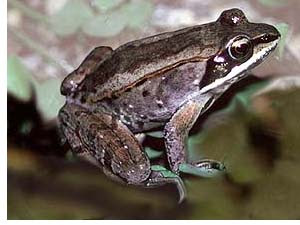 So You Re Moving To Alaska Good For You Quot Wood Frogs Oh