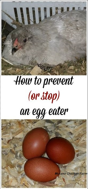 Chickens eating eggs
