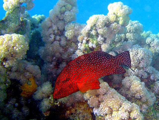 coral grouper, red sea, egypt, diving