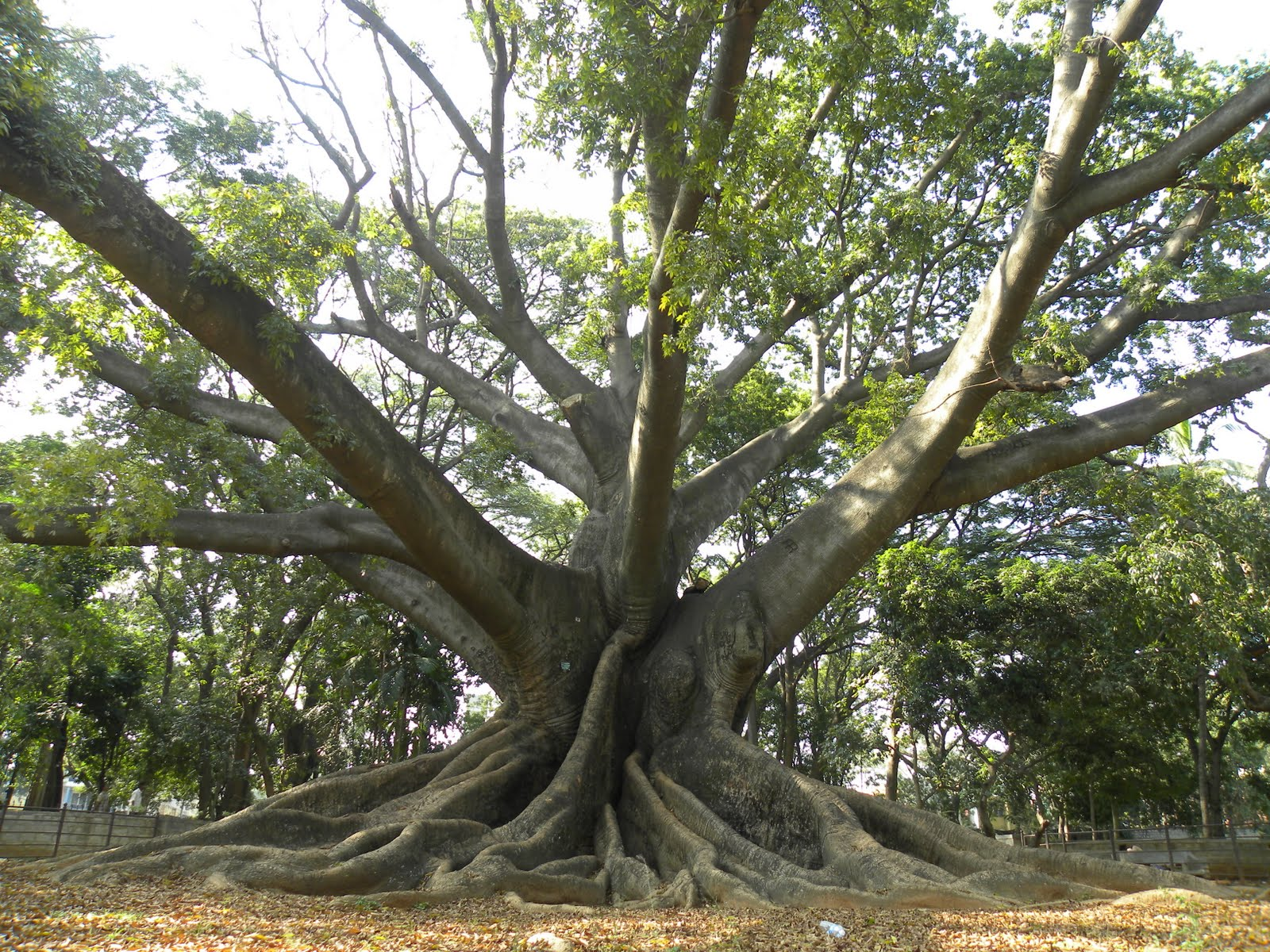 nemus: The Gigantic Kapok Tree