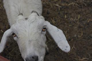 Los ojos de la cabra