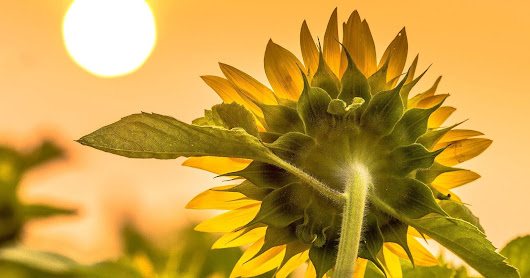 The Sun and the Sunflower