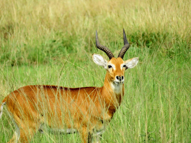 Ugandan Kob in Uganda's Queen Elizabeth National Park