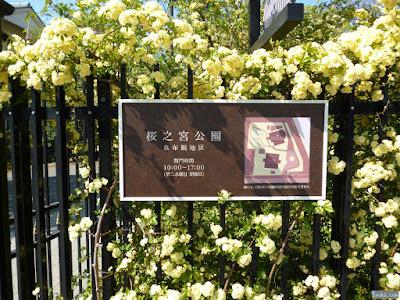 桜之宮公園の木香薔薇
