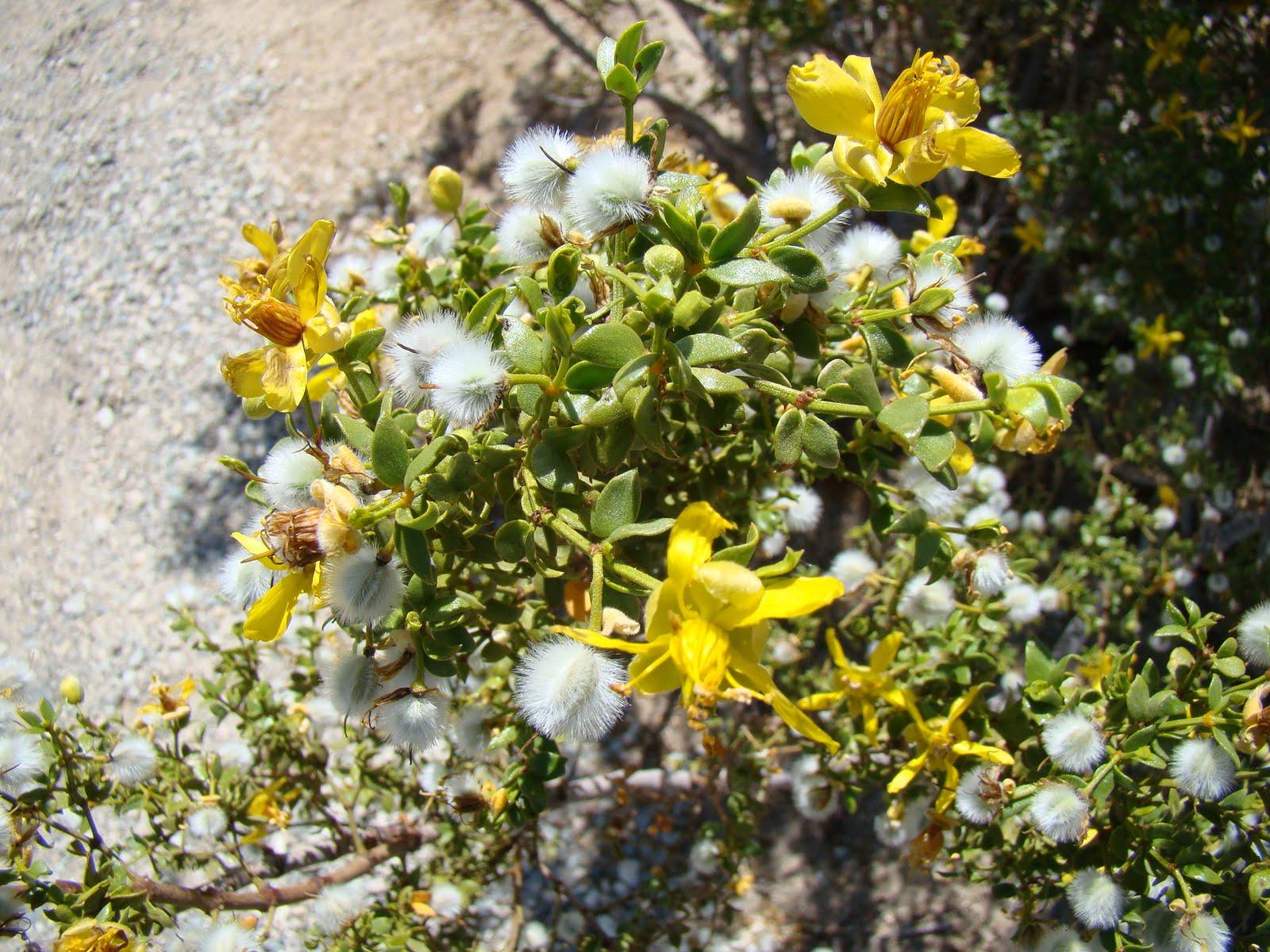 Leaves Of Plants Creosote Bush