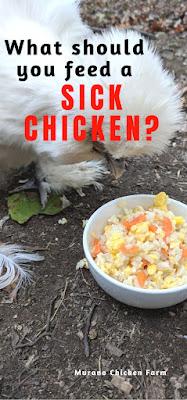 Sick chicken eating
