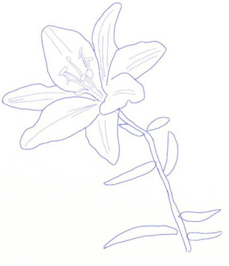 Sketsa Bunga Sketsa Gambar Bunga Bougenville