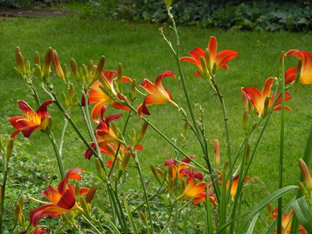 kształt kwiatów liliowca