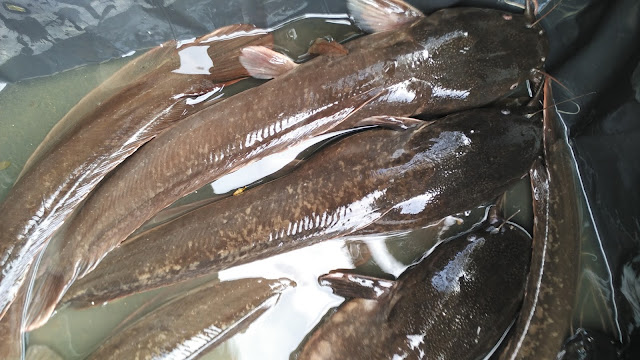 Catfish for Health Benefits
