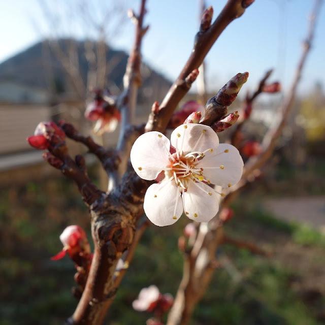 Kirschbluete-Kirschbaum-Obstbaum-April-Fruehling-Kirschmarille