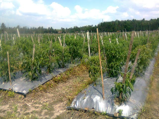 Tanaman Cabe Dibudidaya Dilahan Bermulsa dan Diberi Tiang Ajir Dari Bilah Bambu