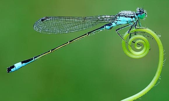 Coffs Harbour Garden Club Dragonfly