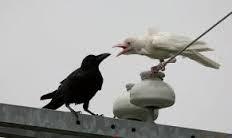طائر النعاب فرخ الغراب