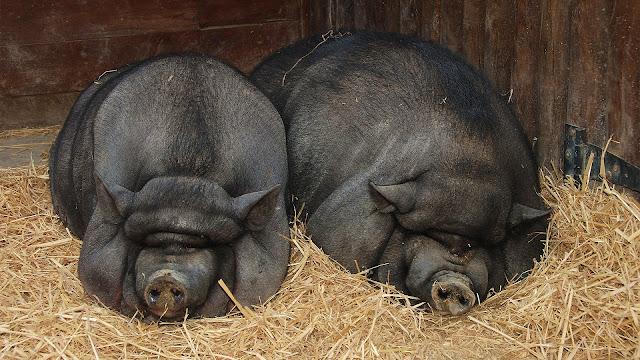 свиньи в оффшоре