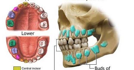 Primary Teeth Eruption Chart Childhood Education