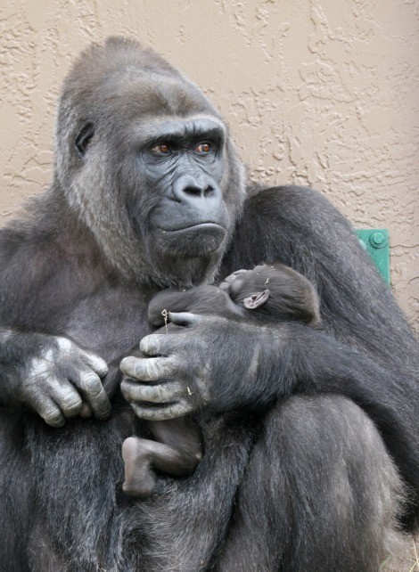 Baby Animals: Baby Gorilla 4