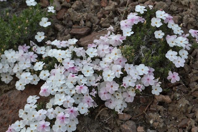 low growing carpet of flower