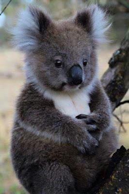 Tierna imagen de un Koala