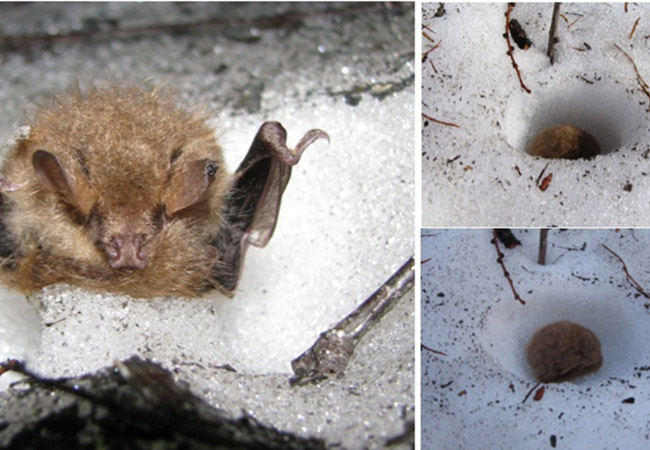 Penelitian Evidence for Ussurian tube-nosed bats (Murina ussuriensis) hibernating in snow
