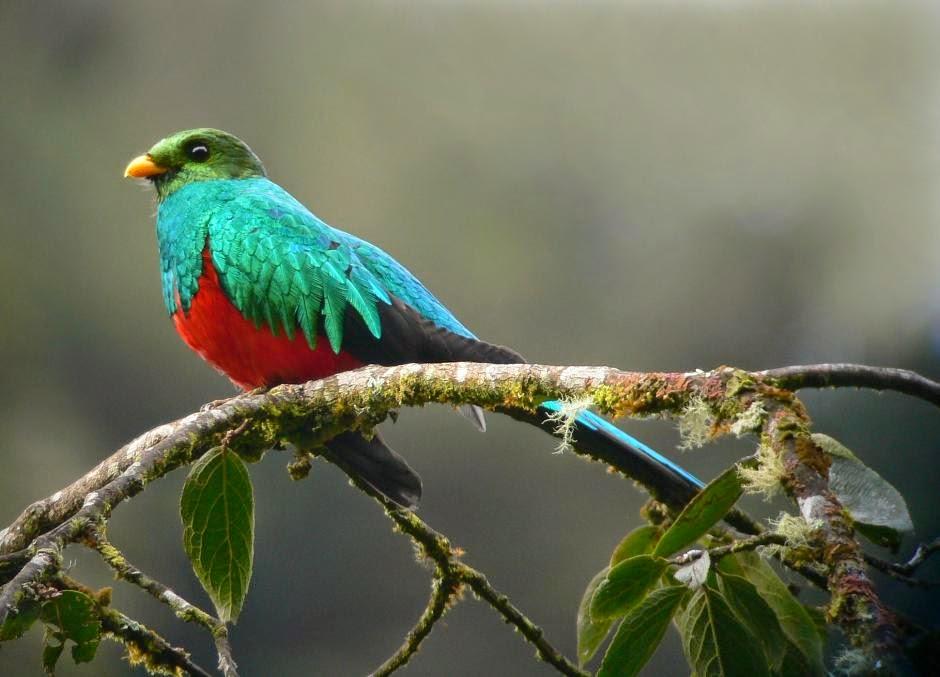 quetzal cabeza dorada Pharomachrus auriceps