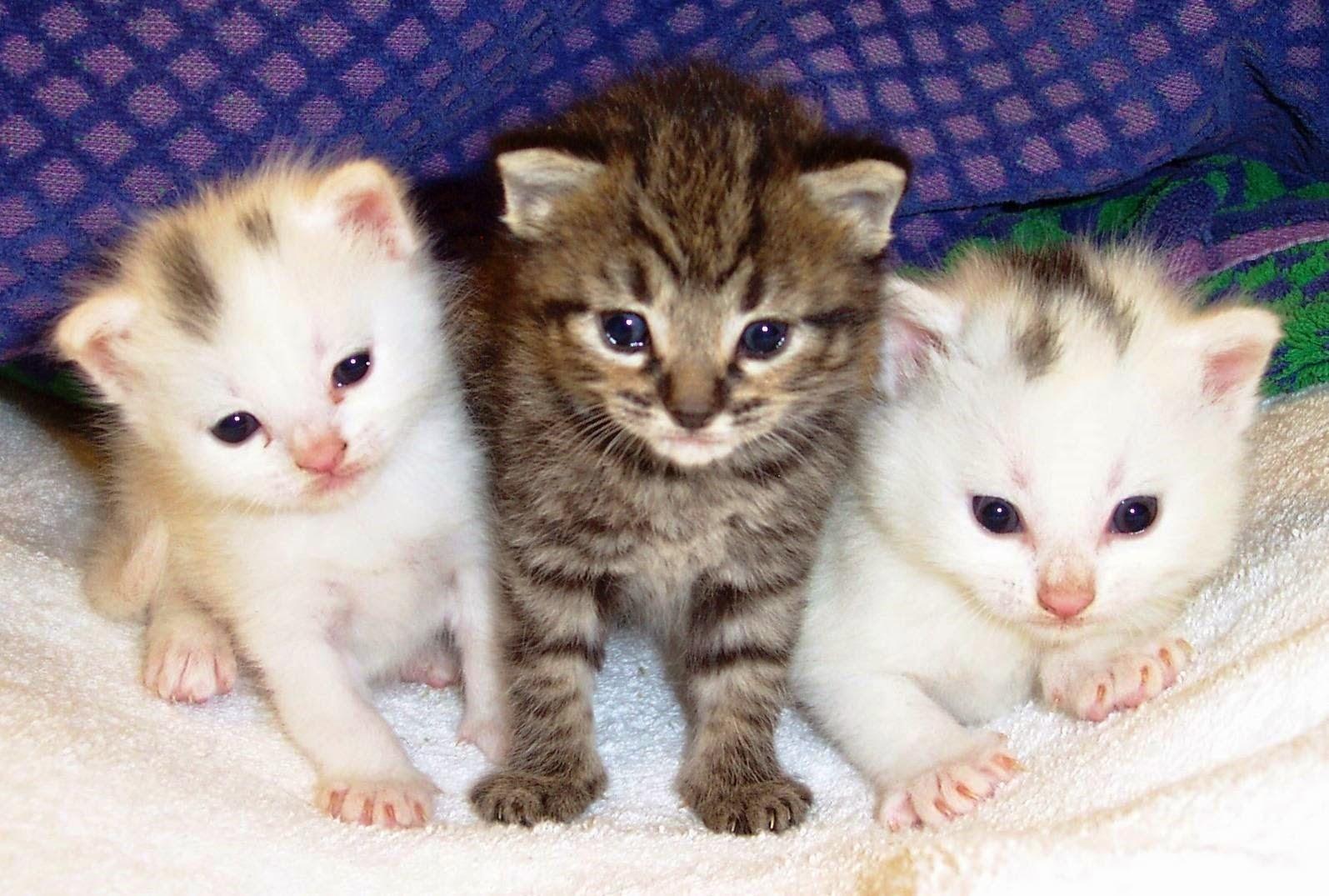 prazosina per gli effetti collaterali dei gatti