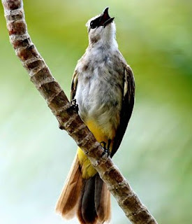 2 Cara Akurat Melatih Burung Trucukan Supaya Cepat Nggaruda