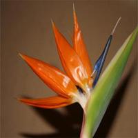 Strelitzia reginae Blüte