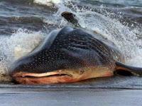 Rescue Hiu Paus, Penanganan Spesies Terperangkap dan Terdampar