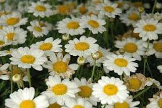 Marguerite Daisy Argyranthemum Frutescens - berbagaireviews.com