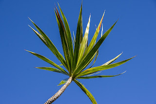 Picture of Red Edged Dracena Plant
