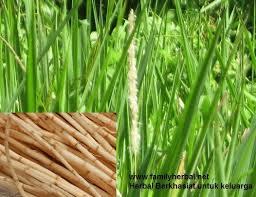 bahkan tumbuhan yang awalnya kita anggap sebagai gulma bisa juga difaedahkan bagian poho Obat batu ginjal dari ekstrak akar alang-alang