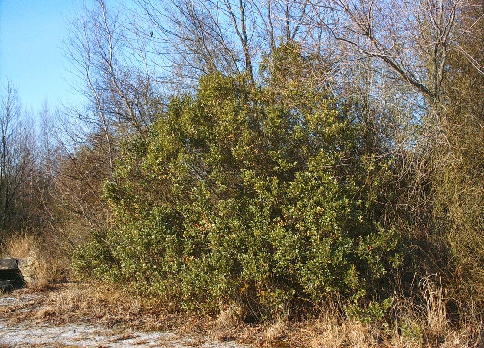 pinelands nursery  ilex glabra
