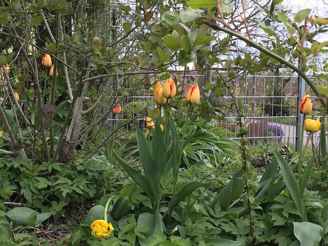 farbenprächtige Tulpen (c) by Joachim Wenk
