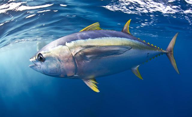 Premium Domain Name - Bluefin Tuna