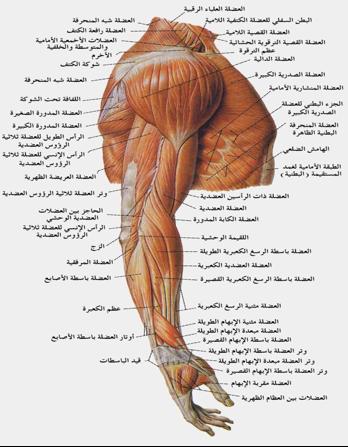 نادي طلاب جراحة العظام عضلات الكتف المستديرة