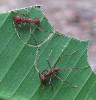 Atta sp., leafcutter ant
