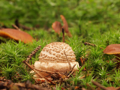 grzyby, grzybobranie, jadalne muchomory, rozpoznawanie jadalnych muchomorów, muchomor czerwieniejący Amanita rubescens