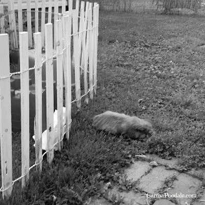 Guinea pig outside the fence
