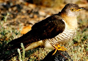 Cuckoos Facts Amazing Facts , Cuckoos Amazing Fact