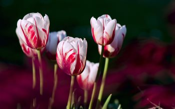 Wallpaper: Garden Tulips