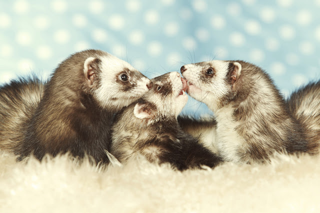 Ferrets' preferences for hammocks, foraging toys, and tunnels