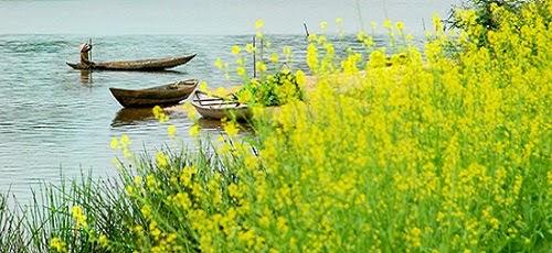 Hoa cải ven sông
