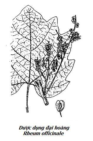 Hình vẽ Dược dụng đại hoàng - Rheum officinale - Nguyên liệu làm thuốc Nhuận Tràng và Tẩy