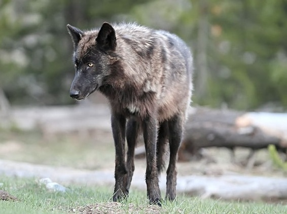 Wandering Spirit Pay Attention When Black Wolf Visits