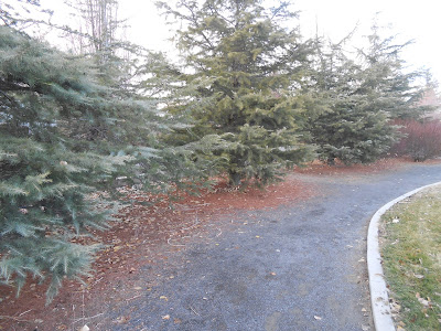 conifers, evergreens, spiritual path