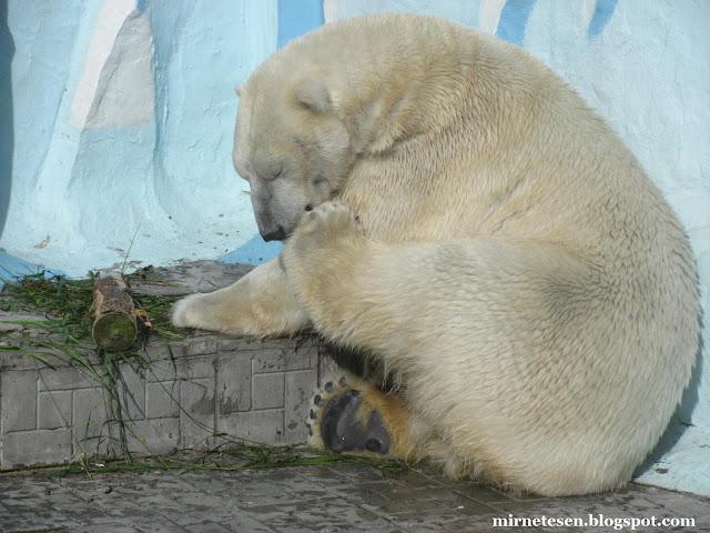 Новосибирский зоопарк: белый медведь